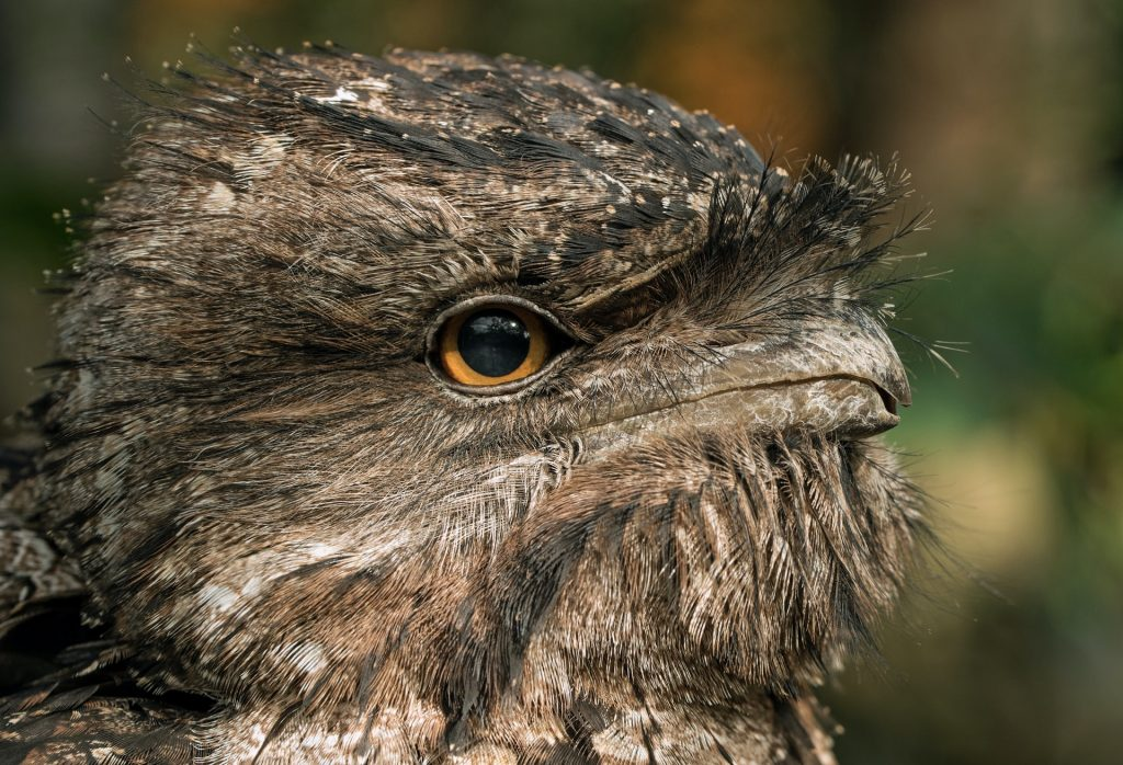 Sir David Attenborough Wants To Know If You Have A Tawny Frogmouth In Your Backyard