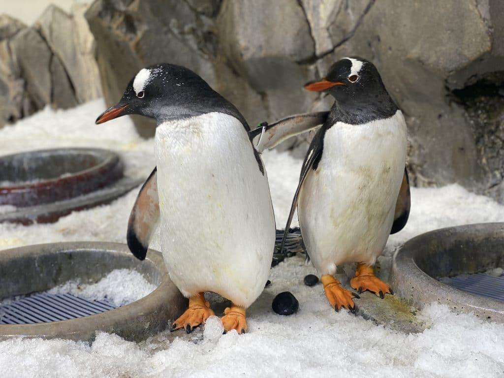 Love Is In The Air As Male Penguins Partner Up At Sea Life Melbourne Aquarium