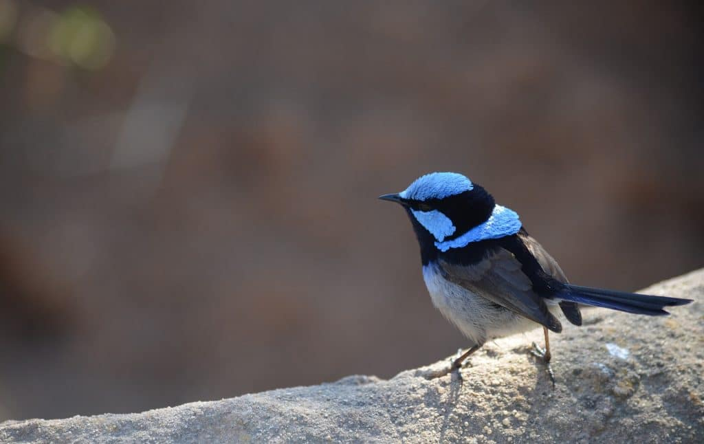 an image of the superb fairy-wren bird for reference