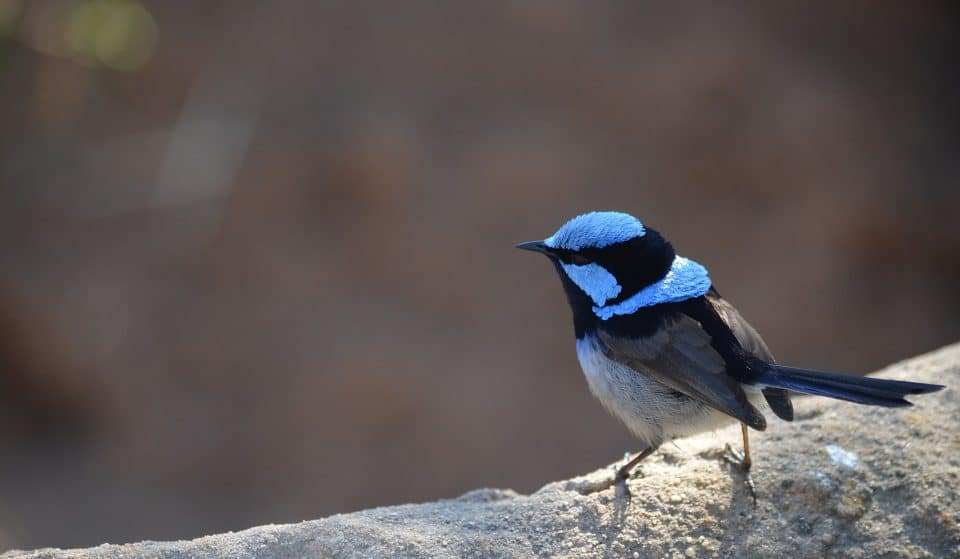 The City Of Melbourne Is On The Look Out For Adorable Superb Fairy-Wren Birds