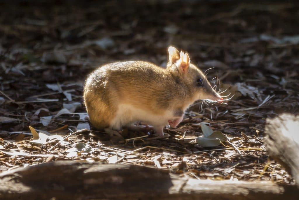 The Eastern Barred Bandicoot Is Saved From The Brink Of Extinction