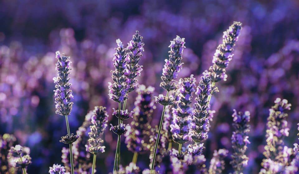 Lose Yourself In A Sea Of Purple At Warratina Lavender Farm