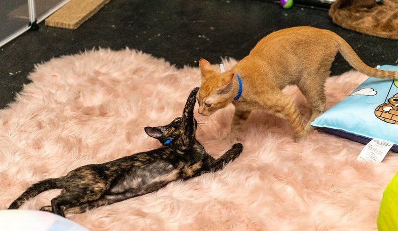A Brand New Cat Café Is Set To Open Next Week In Miami