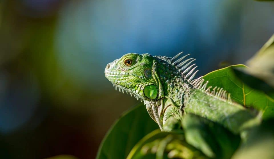 It Rained Iguanas In Miami This Week, Due To Unusually Low Temperatures