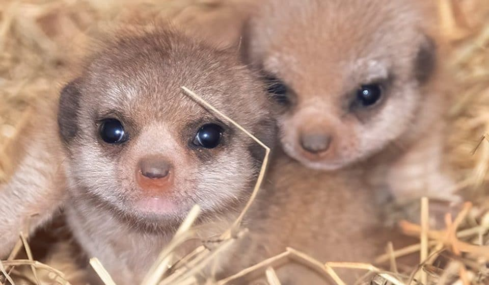 Zoo Miami Now Has Baby Meerkats For The First Time In Its History