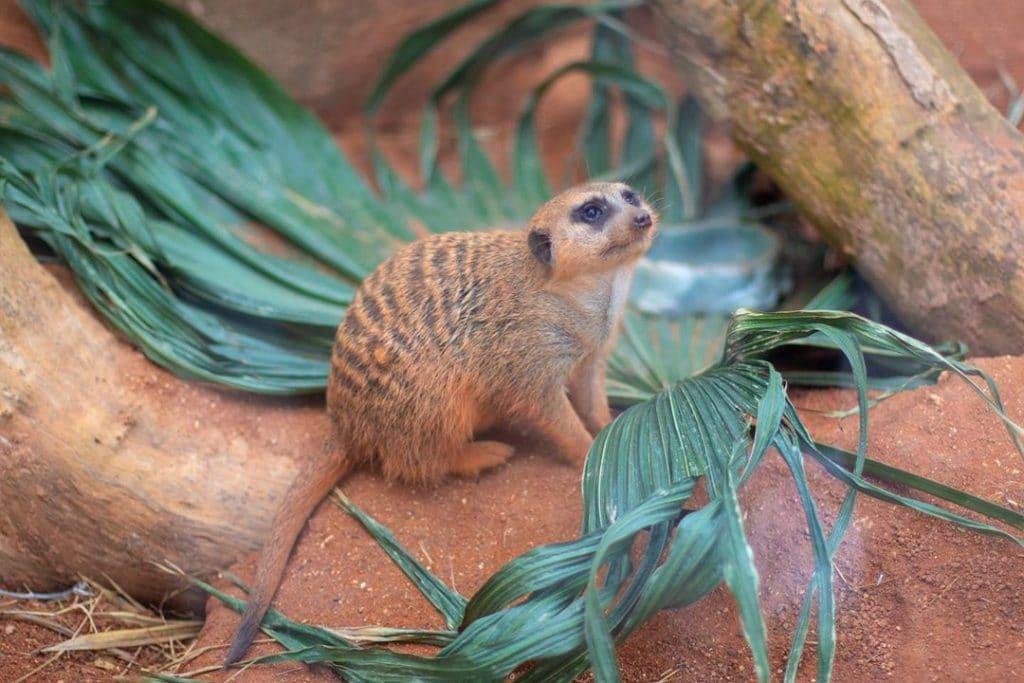 meerkats camera