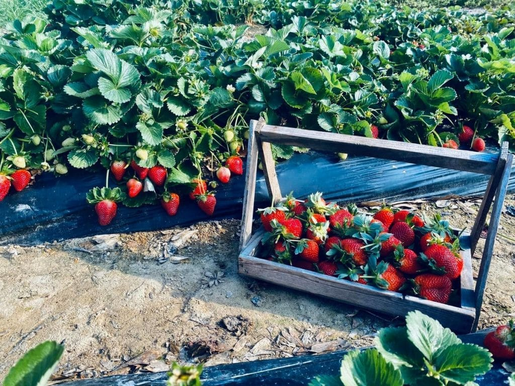 This Strawberry Picking Farm Just Outside NOLA Has Opened For The Season