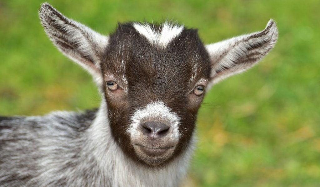 Prospect Park Is Throwing A Party To Welcome Back Their Famous Gardening Goats