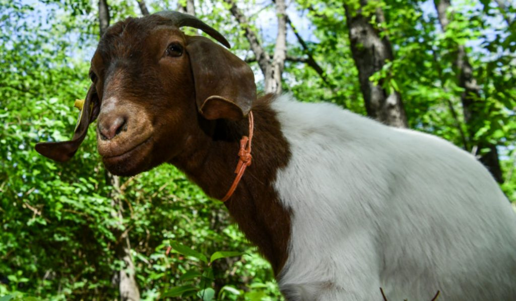 Meet the new Weed-Munching Prospect Park Goats