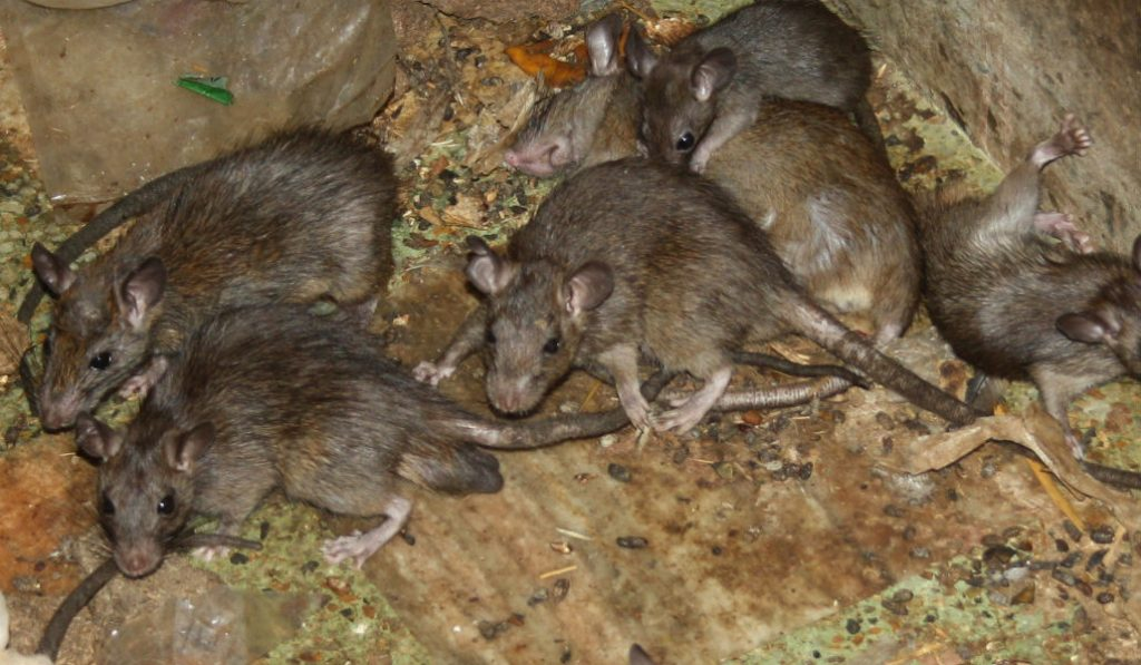 NYC Has The Country's Second-Worst Rat Problem