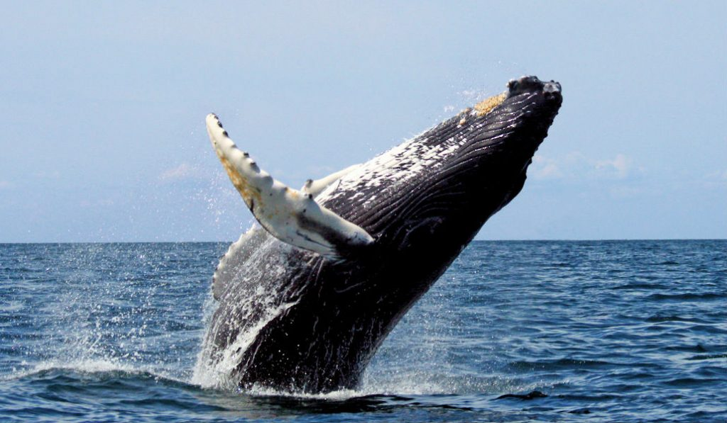 Humpback Whales Back in NYC Waters for the First Time in 100 Years