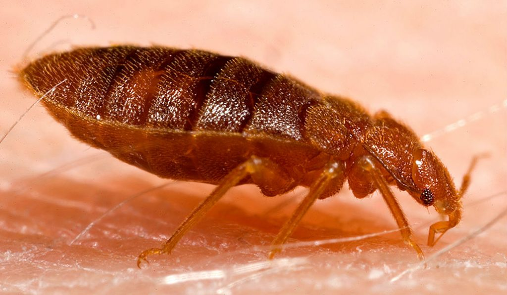 NYC's Bedbug Problem – The 8th most infested City in the U.S.