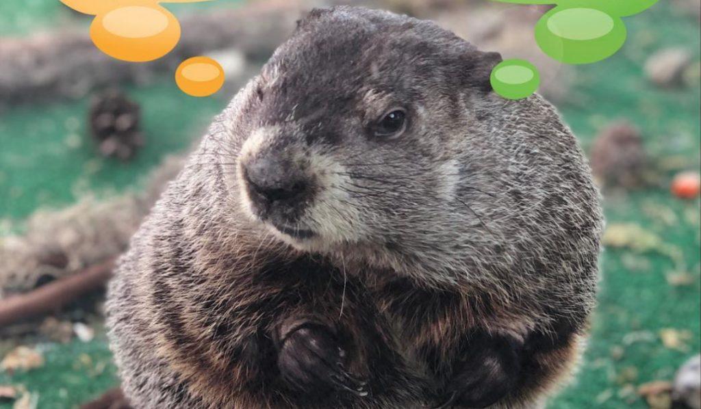 Staten Island Chuck Disagrees With Punxsutawney Phil's Groundhog Day Results