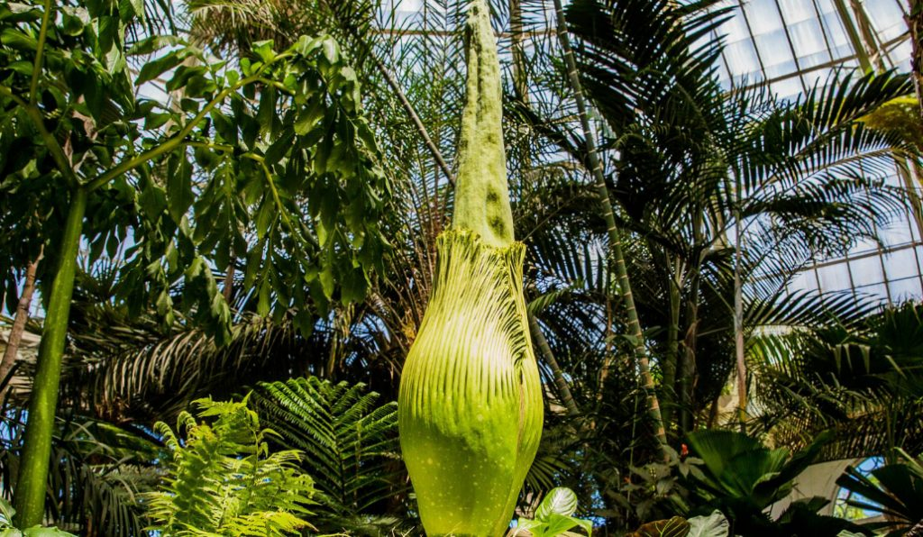 The Corpse Flower at NYBG is About to Bloom, and it Smells Like Rotting Flesh