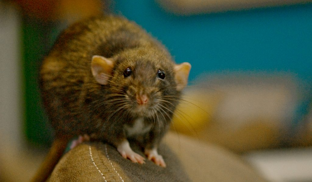NYC is No Longer the 'Rat Capital' of America, Study Says