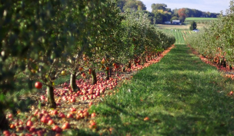A Secret Apple Orchard Is Opening For The Fall Season In Manhattan