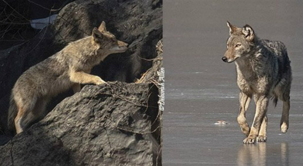 A Coyote Has Been Spotted Roaming Central Park Near Belvedere Castle