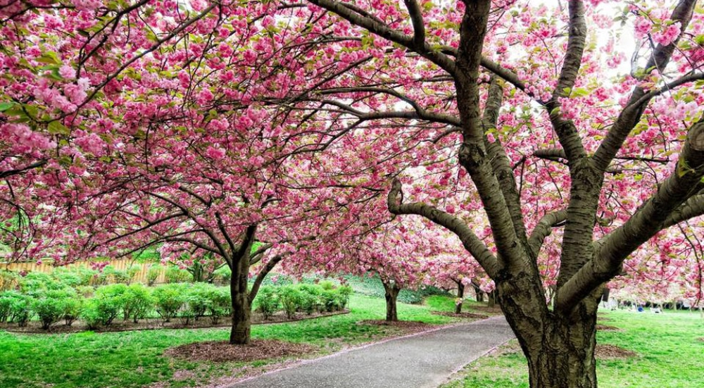 See The 'Finale' Of Cherry Blossom Season At The Brooklyn Botanic Garden