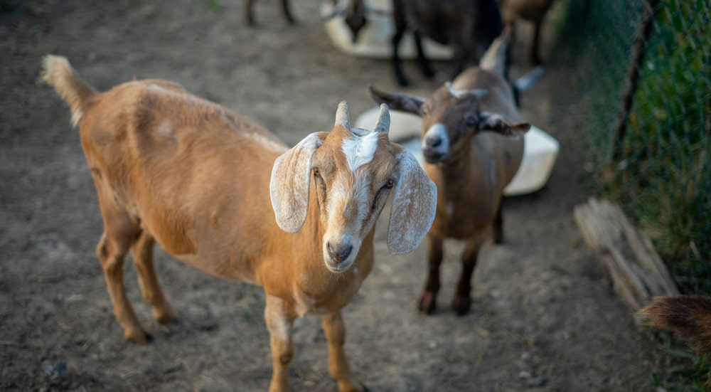 The Goats Are Back To Help With Invasive Plant Problem At Riverside Park