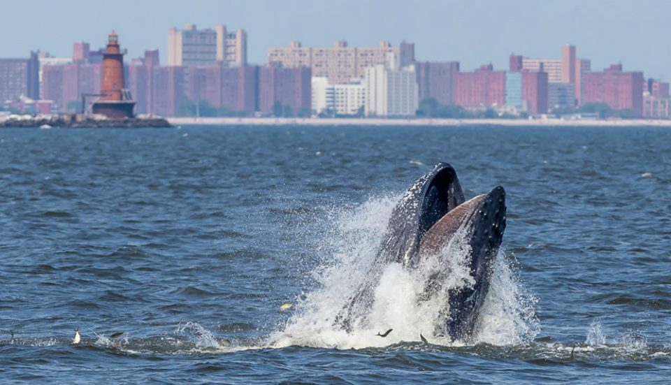 Whale Caught On Video Just Off The Shore At Rockaway Beach Over The Weekend
