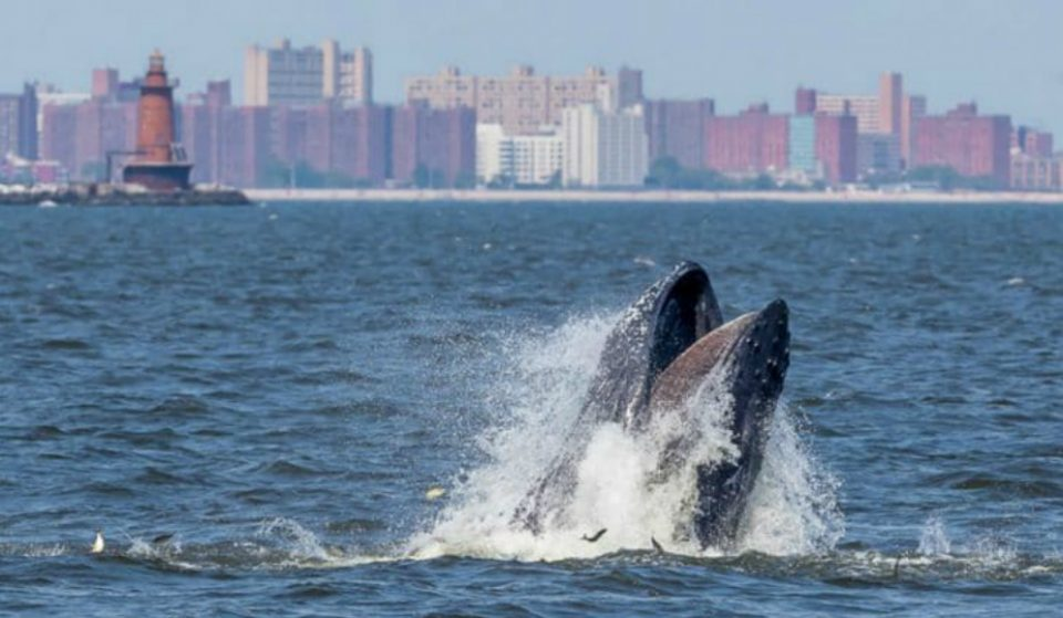 Whale Spotted Off The Shore Of Rockaway Beach Yesterday As Group Of Surfers Watch