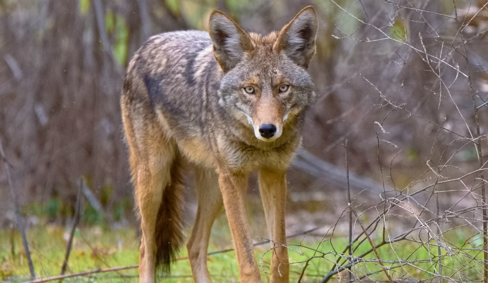 A Coyote Has Been Spotted Roaming Around Central Park Recently