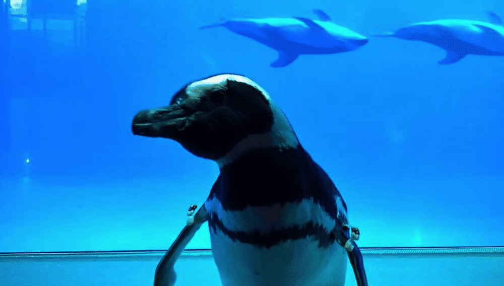 The Penguins At This Aquarium Are Taking Field Trips To Visit The Other Animals, And It's Too Cute!