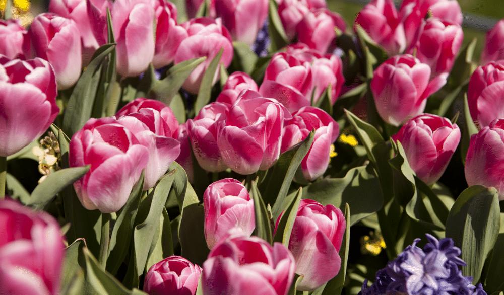 Take A Calming Stroll Through NYBG's Stunning Tulip Garden Virtually