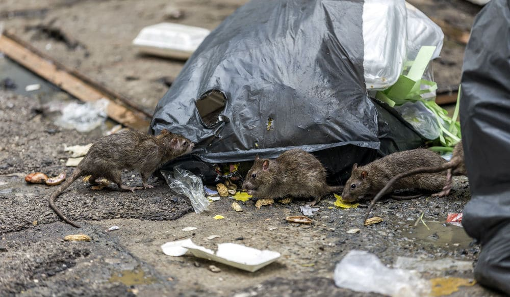 NYC Rats Are Now Battling Over Each Other's 'Territory' With Less Food & Trash On Streets