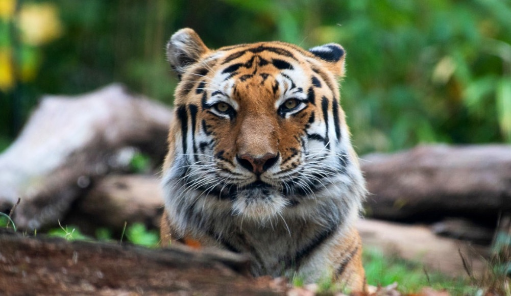 A Tiger At The Bronx Zoo Becomes First Animal In U.S. To Test Positive For COVID-19
