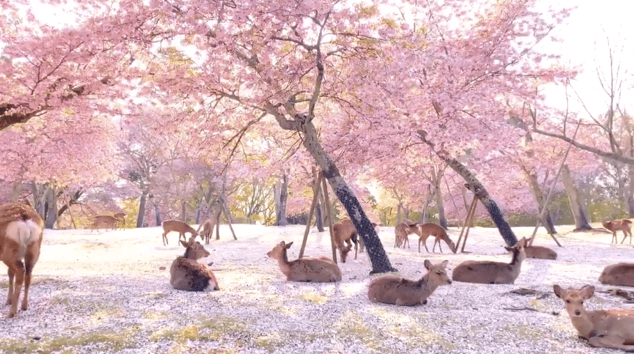 Deer Lounge Under Cherry Blossom Trees In Japan's Nara Park, And It's Utterly Magical
