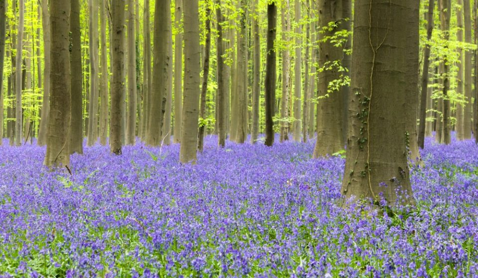 Wander Through Fields Of English Bluebells In This Soothing New Video