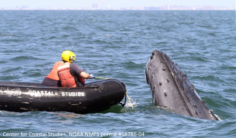A Humpback Whale Was Just Rescued Off NY Harbor After Being Trapped For Four Days