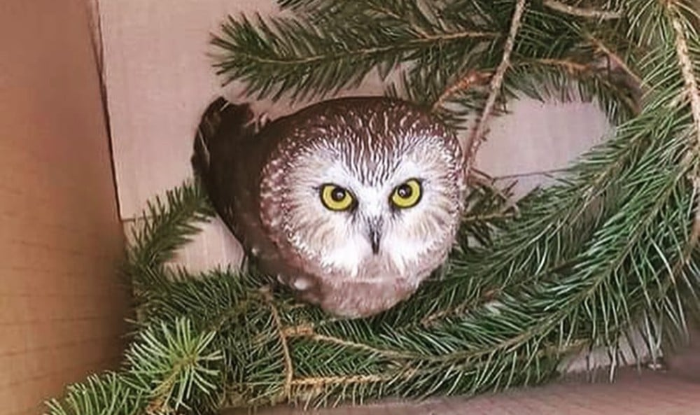 The Cutest Tiny Owl Was Just Discovered In This Year's Rockefeller Center Christmas Tree