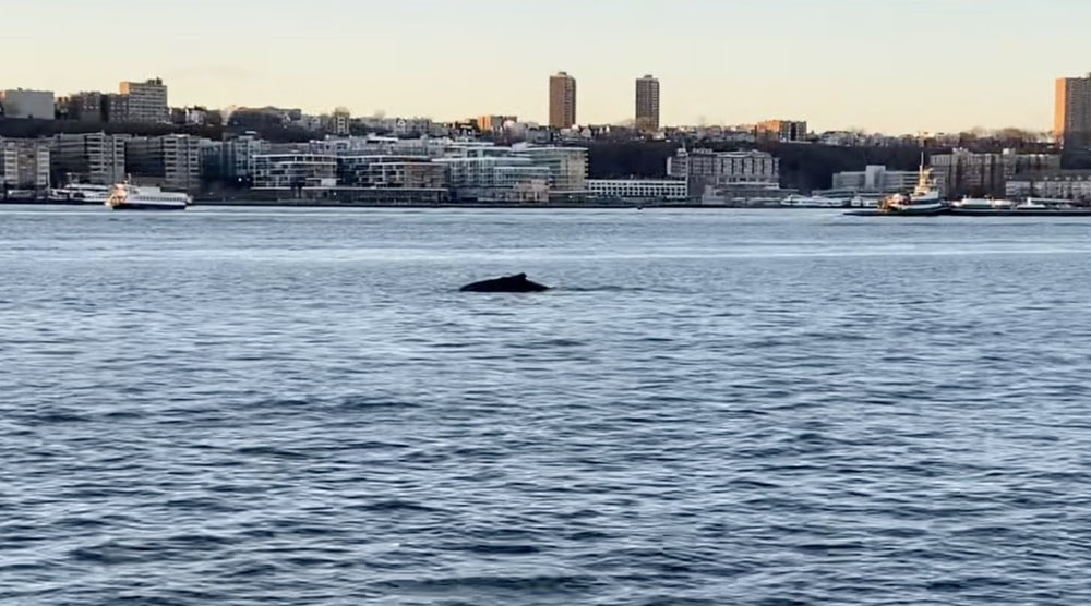 A Giant Humpback Whale Was Just Spotted In The Hudson River