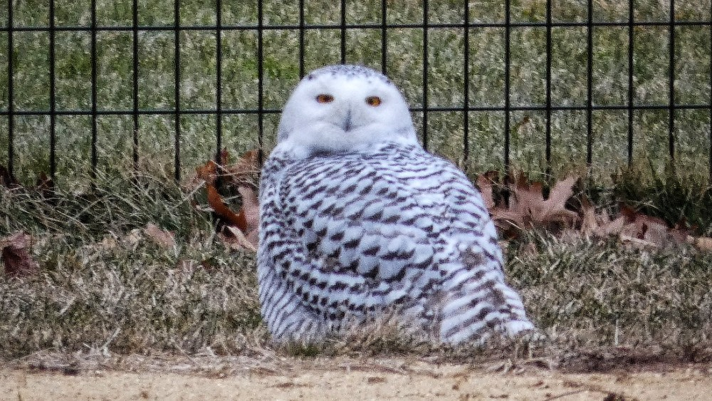 A Beautiful Snowy Owl Has Touched Down In Central Park's North Meadow