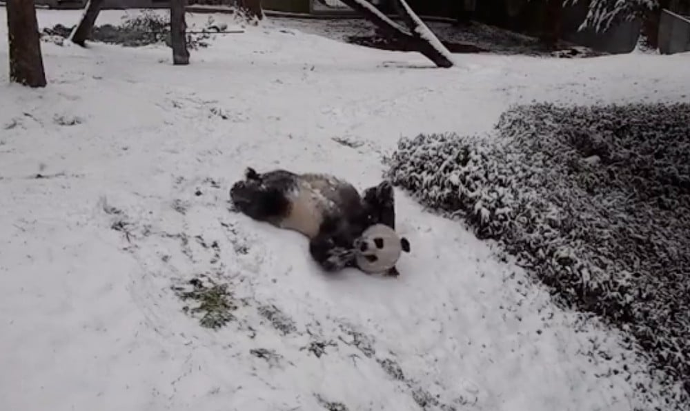 Watch The National Zoo's Giant Pandas Have The Time Of Their Lives During This Weekend's Snow!