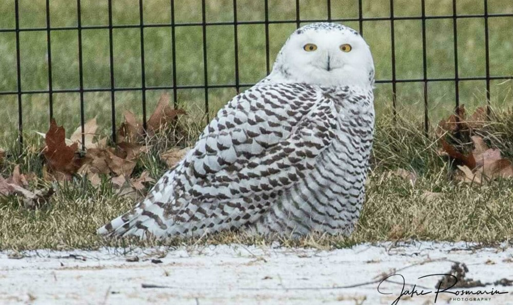 The Super Rare Snowy Owl Has Returned To Central Park!