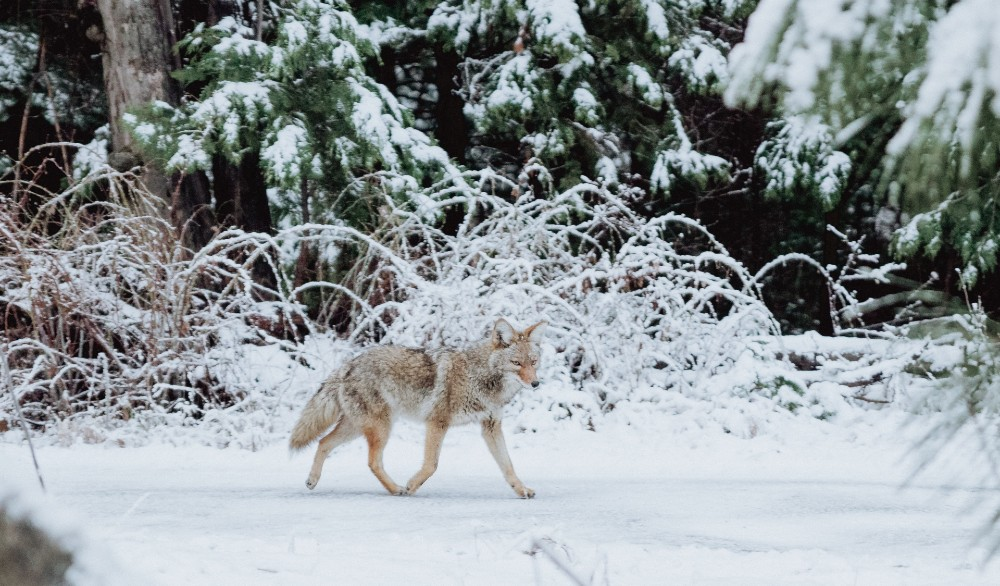 A Coyote Was Spotted Roaming Central Park This Weekend