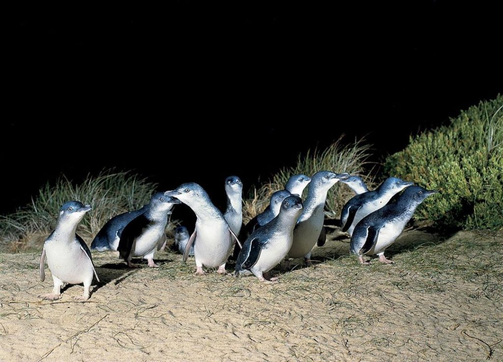 Waddle Waddle, Happy Feet, Phillip Island's Penguin Parade Marches Live Onto Penguin TV
