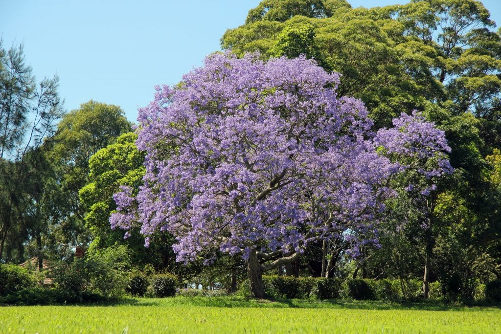 Where To See Perth's Blooming Purple Jacaranda Trees This Spring