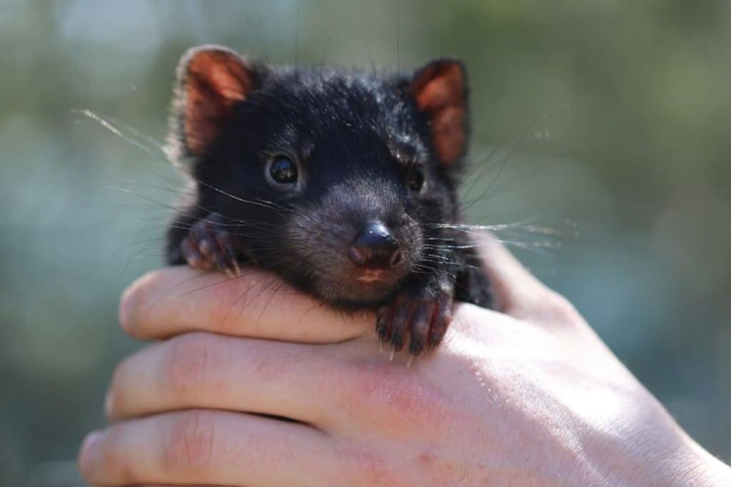 Tassie Devil Joeys Have Been Born On The Aussie Mainland For The First Time In Yonks