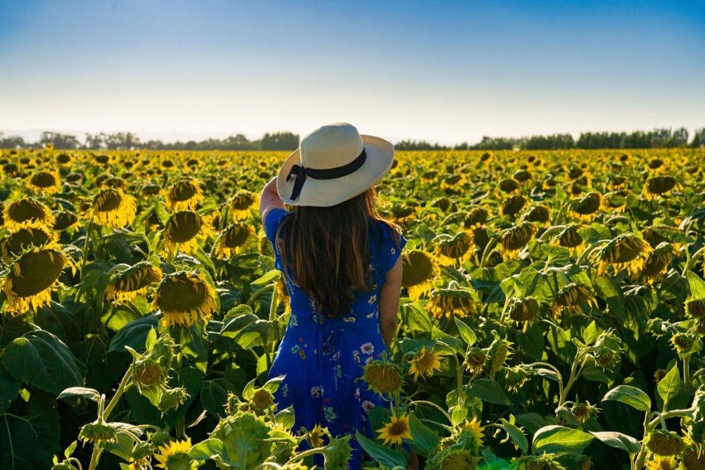 sun flower field arizona