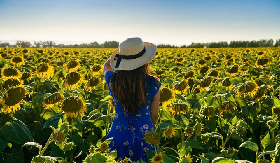 This Breathtaking Sunflower Field In Arizona Is Open This Weekend