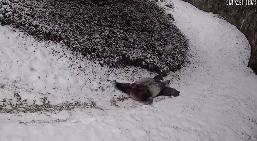 Watch The National Zoo's Giant Pandas Have The Time Of Their Lives In DC's Snow!