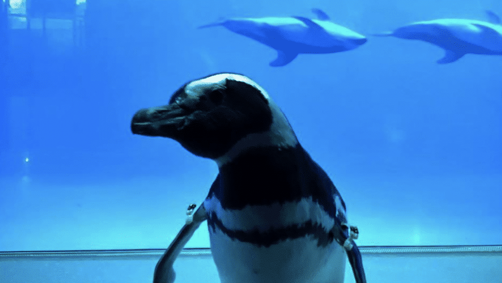 Penguins At This Aquarium Are Taking Field Trips To Visit The Other Animals, And It's Too Cute!