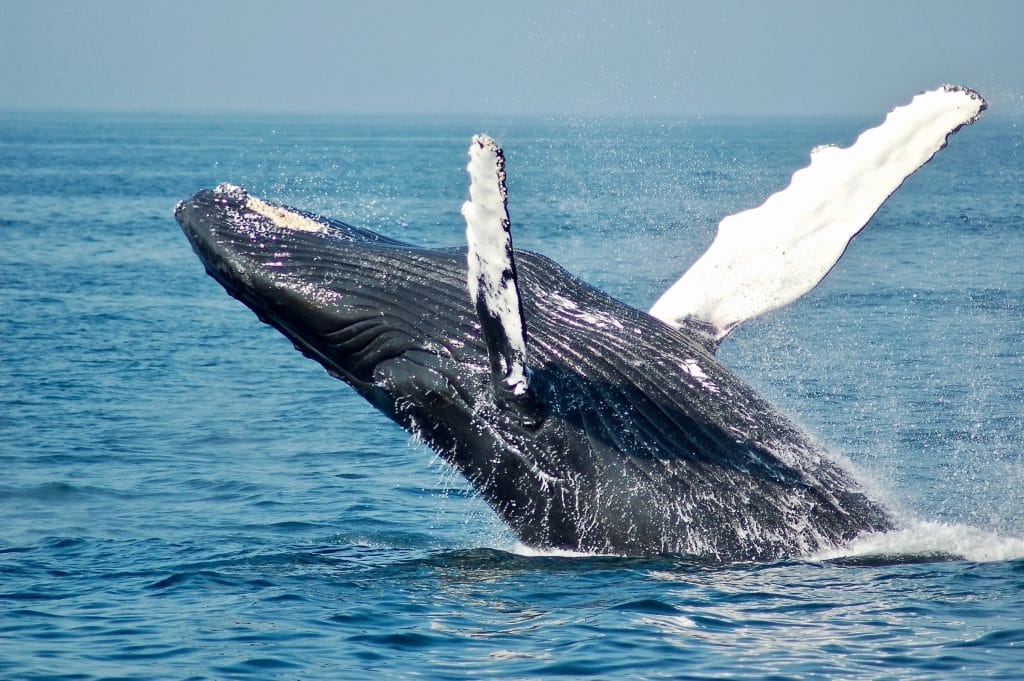 Humpback Whales Put On The Show Of A Lifetime This Past Sunday With A Triple Breach