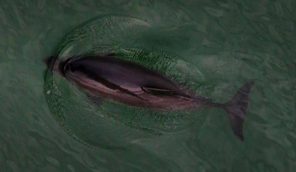 You Can Spot 30 Harbor Porpoises In An Hour From The Golden Gate Bridge