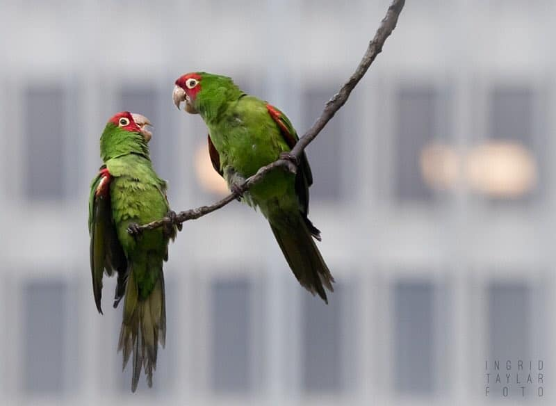 Here's How You Can Adopt A Pair Of SF's Iconic Wild Parrots