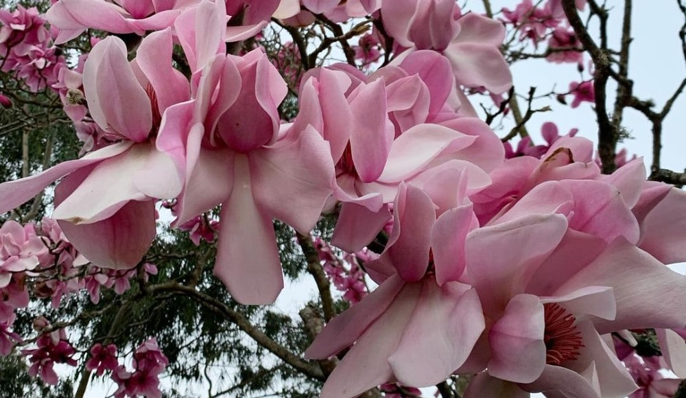 Dozens Of Spectacular Magnolia Trees Are Now In Bloom At The SF Botanical Garden
